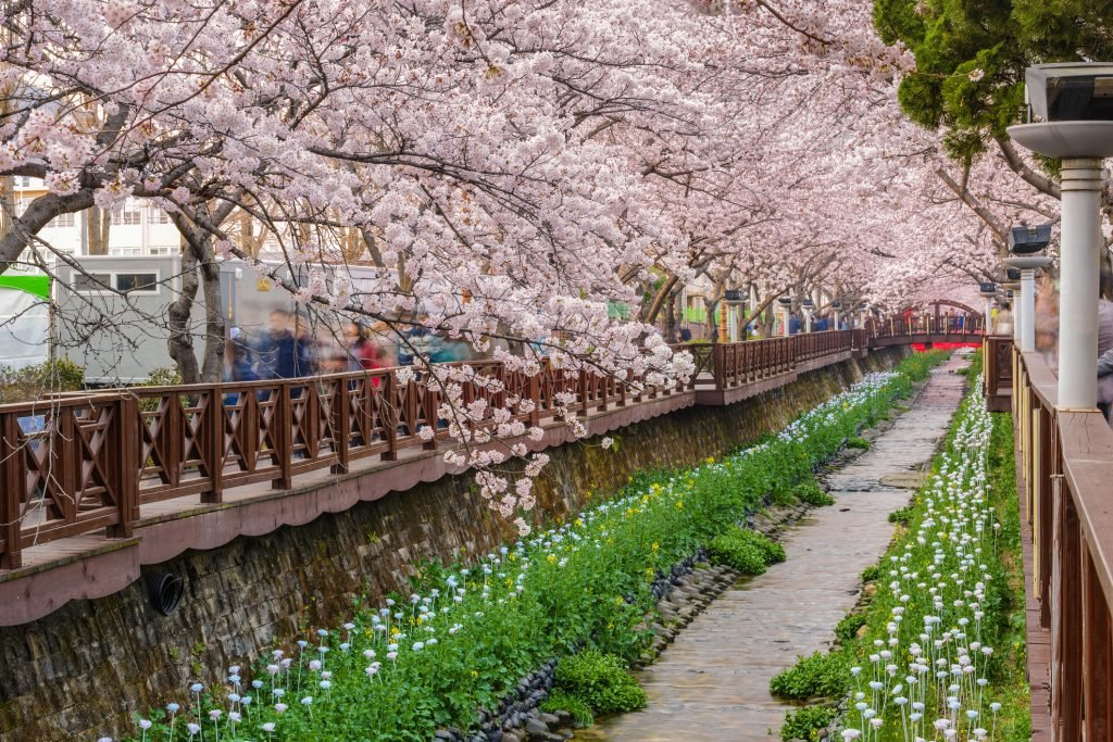 Cherry Blossom South Korea